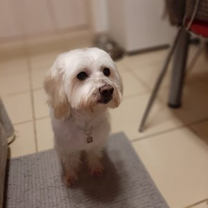 Walks dog in București pet sitting request